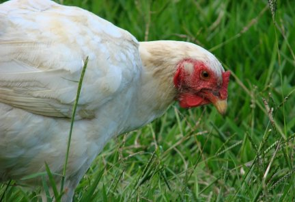 Poultry animal heatlh